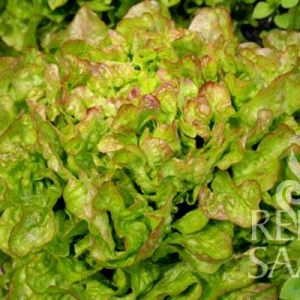 Bijella tölgylevelű saláta bio vetőmag