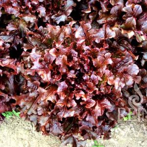 Red Salad Bowl tépősaláta bio vetőmag