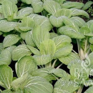 Pak Choi ázsiai saláta bio vetőmag