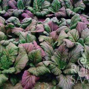 Red Giant ázsiai saláta bio vetőmag