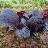 Garnet Giant ázsiai saláta bio vetőmag