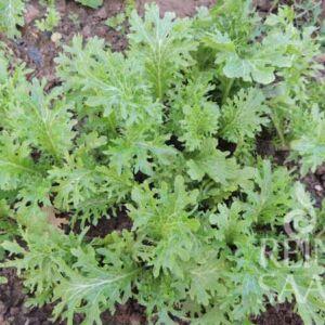 Wasabino ázsiai saláta bio vetőmag