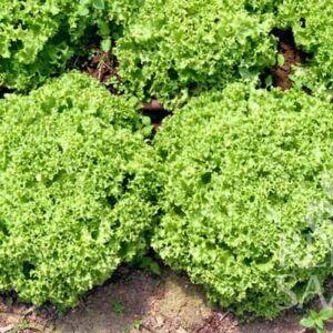 Lollo Bionda saláta bio vetőmag