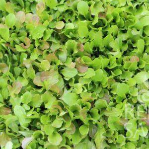 Mesclun salátakeverék bio vetőmag
