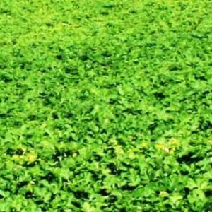 Sárga mustár bio zöldtrágya vetőmag