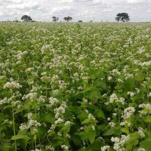Hajdina - bio zöldtrágya vetőmag