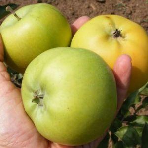 London Pepin alma konténeres gyümölcsfa