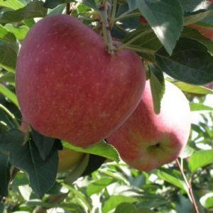 Starking alma konténeres gyümölcsfa