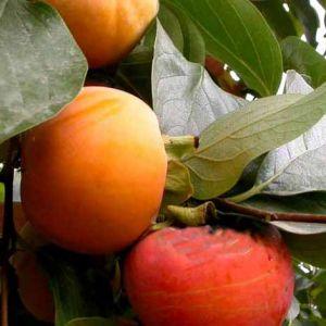 Tipo datolyaszilva gyümölcsfa oltvány