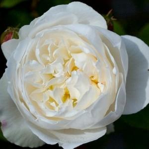 white mary rose