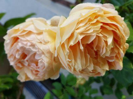 Hajnali rózsaszüret