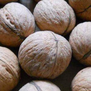 Milotai kései dió konténeres gyümölcsfa oltvány