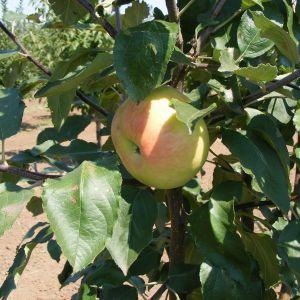 Nyári fontos alma konténeres gyümölcsfa