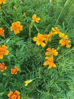Hasznos virágok nyár derekán