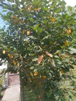Ne hagyjuk lepotyogni a cseresznyefák leveleit!