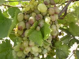 Szüret és a szőlő védelme