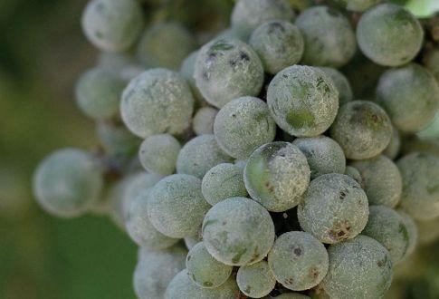 Takácsatka és lisztharmat szőlőn