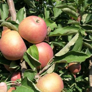 Staymared alma szabadgyökerű gyümölcsfa oltvány