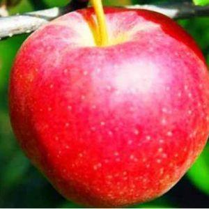Éva alma szabadgyökerű gyümölcsfa oltvány