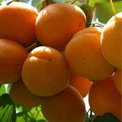 Goldrich kajszibarack szabadgyökerű gyümölcsfa gyümölcse