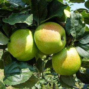 Húsvéti rozmaring alma szabadgyökerű gyümölcsfa oltvány