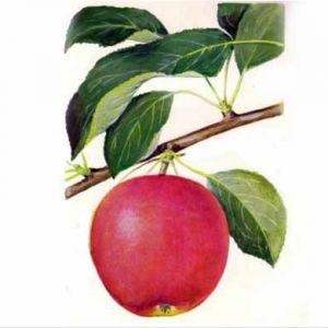 Kecskeméti vajalma szabadgyökerű gyümölcsfa oltvány
