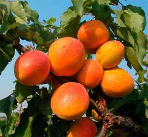 Nagykőrösi óriás kajszibarack szabadgyökerű gyümölcsfa