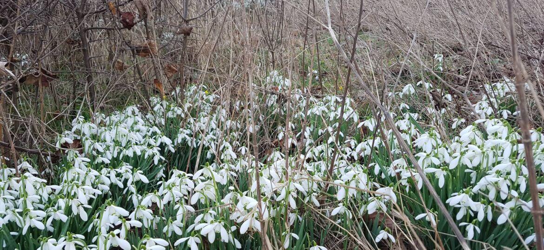 angol hóvirág3