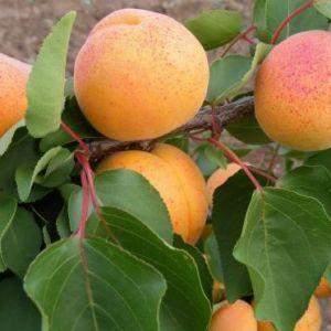 Pannónia kajszibarack konténeres gyümölcsfa